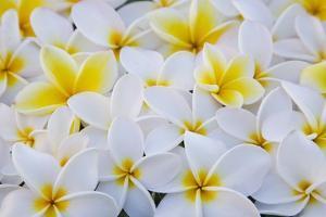 White and Yellow Frangipani by Darrell Gulin