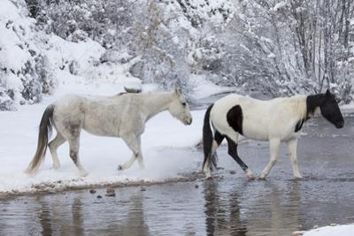 Wintertime, Hideout Ranch, Wyoming. Horses crossing Shell Creek by Darrell Gulin