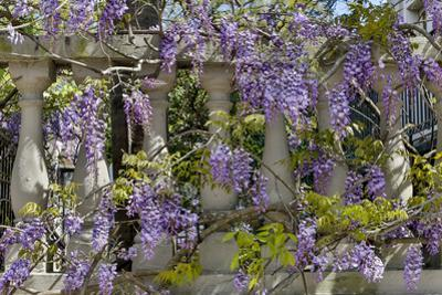 Wisteria growing on column fence in downtown Charleston, South Carolina by Darrell Gulin