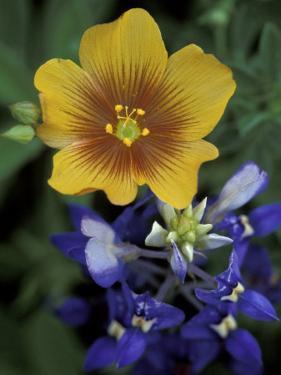 Yellow Flax, Bluebonnets, Moore, Texas, USA by Darrell Gulin