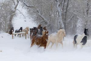 Hideout Ranch, Shell, Wyoming. Horse running through the snow. by Darrell