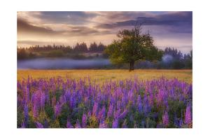 Lupine Sunrise by Darren White Photography