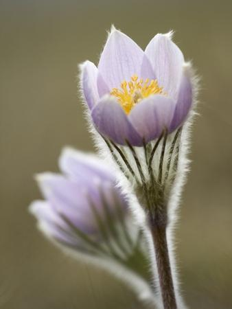 Close-up of Prairie Crocus (Anenome Patens) in Bow Valley Provincial Park, Kananaskis Country, Albe