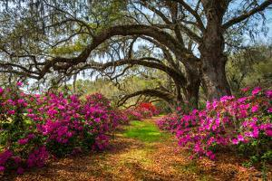 South Carolina Spring Flowers Charleston SC Lowcountry Scenic Nature Landscape with Blooming Pink A by Dave Allen Photography