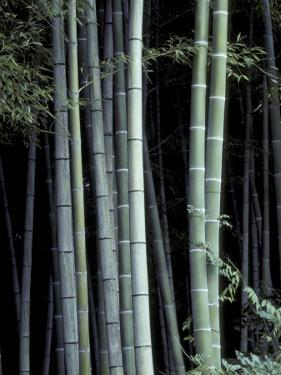 Bamboo Forest, Kyoto, Japan by Dave Bartruff