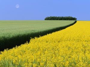 Barley Next to Blooming Canola Plants by Dave Reede