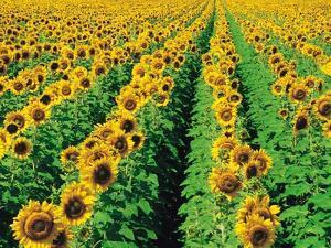 Sunflower Field Near Oakbank, Manitoba, Canada by Dave Reede