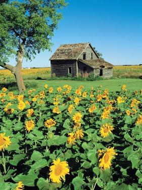 Sunflower Field, Old House, Beausejour, Manitoba, Canada. by Dave Reede