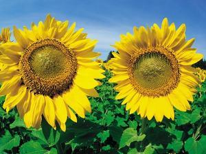 Sunflowers Near Oakbank, Manitoba, Canada by Dave Reede