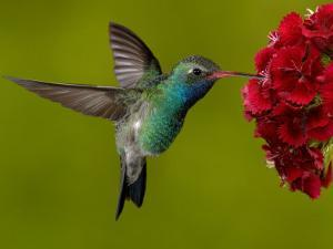 Broad-Billed Hummingbird, Male Feeding on Garden Flowers, USA by Dave Watts