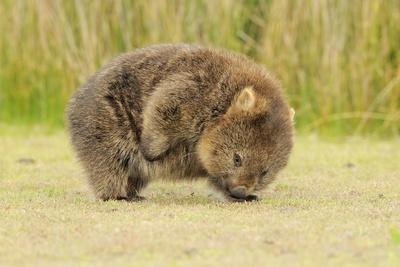 Common Wombat (Vombatus Ursinus) Adult Scratching, Tasmania