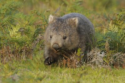 Common Wombat (Vombatus Ursinus). Tasmania, Australia, February