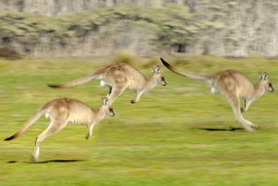 Forester kangaroo (Macropus giganteus) three leaping, Tasmania, Australia. Digital composite