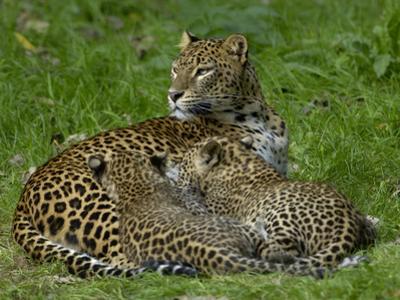 Sri Lankan Leopard (Panthera Pardus Kotiya) Mother and Cubs, Captive