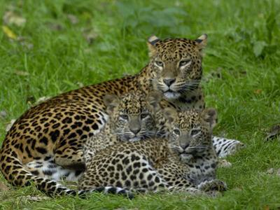 Sri Lankan Leopard (Panthera Pardus Kotiya) Mother with Cubs, Captive
