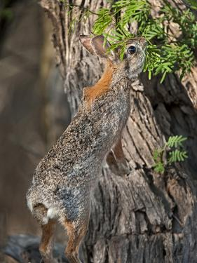 Desert Cottontail Rabbit, Santa Clara Ranch, Texas, USA by Dave Welling