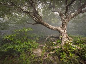 Creepy Fairytale Tree Spooky Forest Fog Appalachian Nc Fantasy Landscape by daveallenphoto