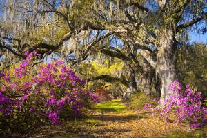 Spring Flowers Charleston Sc Azalea Blooms Deep South Landscape Photography by daveallenphoto