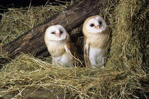 Barn Owls by David Aubrey