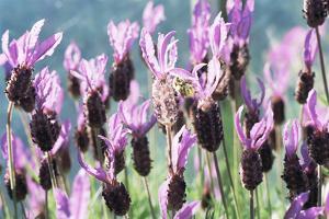 French Lavender (Lavandula Stoechas) by David Aubrey