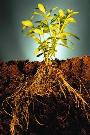 Plant with Roots Digging into Soil