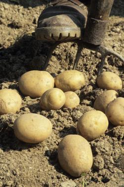 Potatoes by David Aubrey
