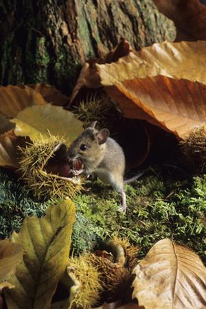 Woodmouse Eating a Chestnut
