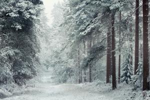 Forest Snow by David Baker