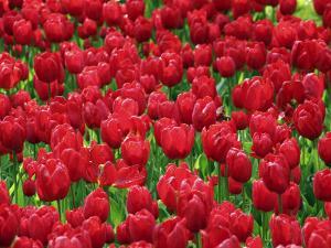 Madrid, Tulips, Spain by David Bank