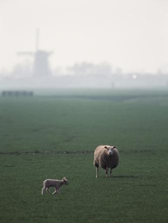 Netherlands, South Holland, Sheep and Lamb Standing in Farm by David Barnes