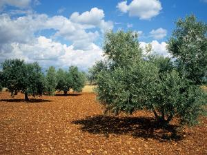 Olive Trees in Provence, France by David Barnes