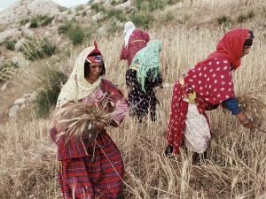 Berber Women Harvesting Near Maktar, the Tell, Tunisia, North Africa, Africa by David Beatty