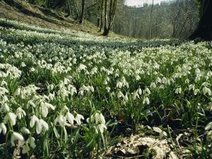 Carpet of Snowdrops in Spring, Snowdrop Valley, Near Dunster, Somerset, England, United Kingdom by David Beatty