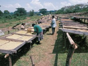Drying Coffee, Kaffa, Ethiopia, Africa by David Beatty
