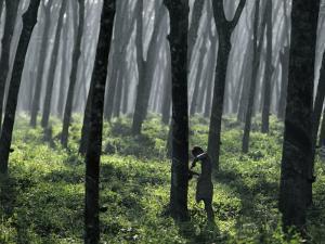 Tapping a Rubber Tree, West Province, Sri Lanka by David Beatty