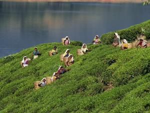 Women Tea Pickers on the Bunyan Estate Beside Lake Maskeliya in Sri Lanka by David Beatty