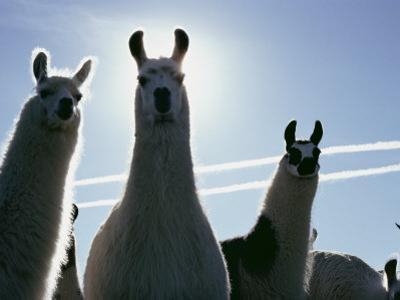 Close-up of Three Llamas