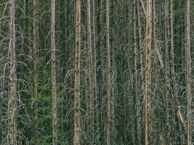 Lodgepole Pine Tree Trunks by David Boyer