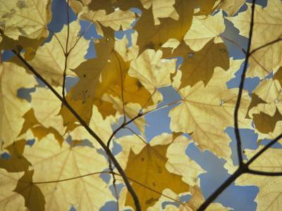 Sugar Maple Leaves by David Boyer