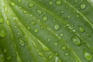 Hosta (Hosta sp.) close-up of leaf with raindrops, in garden, Norfolk, England by David Burton