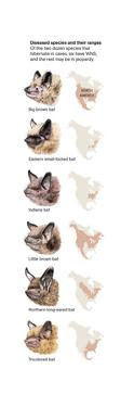 The Six Species of Bats That Have White-Nose Syndrome by David Bygott