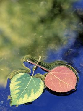 Aspen Leaves on Rush Creek with Reflection, CA by David Carriere