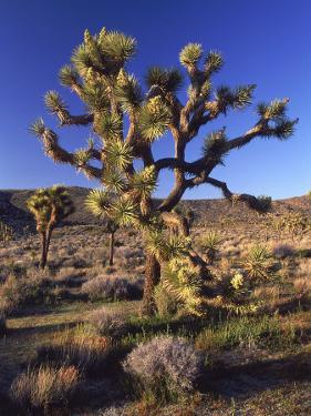 Joshua Tree, Joshua Tree National Park, CA by David Carriere