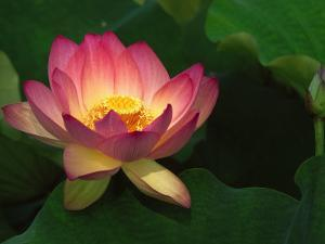 Lotus Flower, Echo Park Lake, Los Angeles, CA by David Carriere