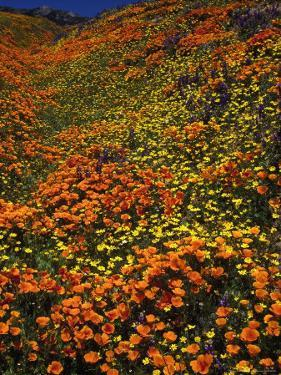 Poppies and Lupine, CA by David Carriere