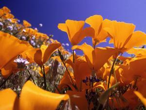 Poppies, CA by David Carriere