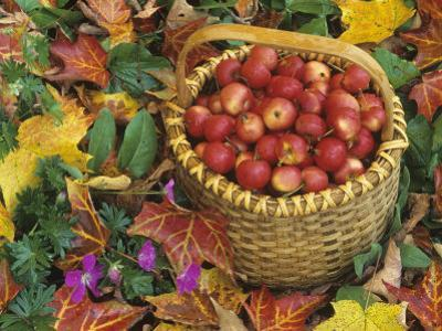 Basket of Harvested Columbia Crabapples Among Fall Leaves, Malus by David Cavagnaro