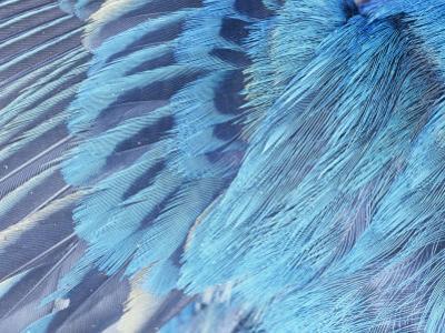 Close-Up of Male Indigo Bunting Feathers, Passerina Cyanea, North America by David Cavagnaro