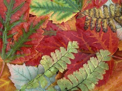 Fall Leaves of Red Maple and Five Finger or Maidenhair Ferns by David Cavagnaro