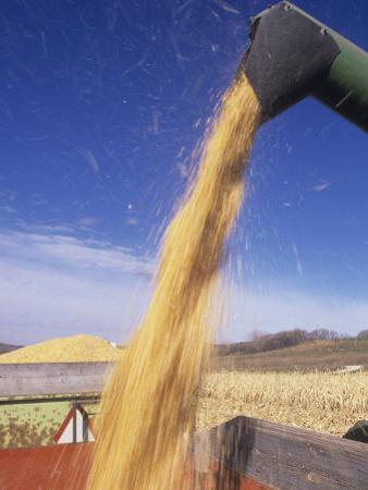 Loading Harvested Corn into a Truck (Zea Mays) by David Cavagnaro